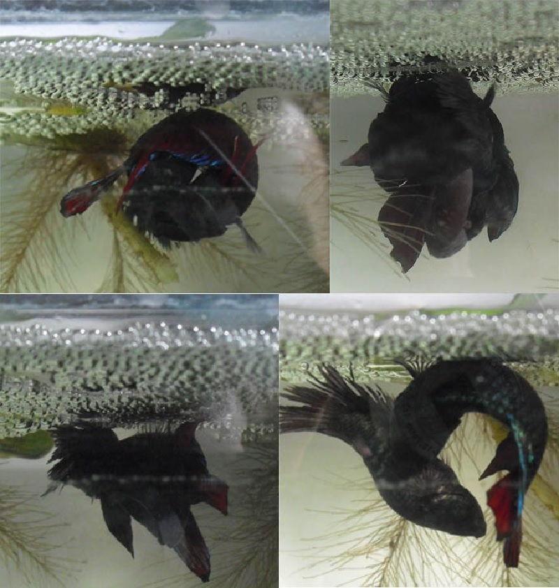 Tips Cara Budidaya Ikan Cupang