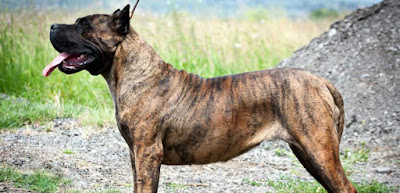 Perro Dogo Canario