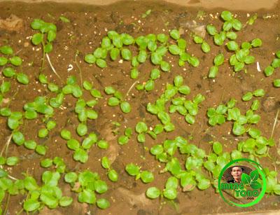 Semaian biji pepaya tumbuh tunas. Foto jepretan admin di penyemaian biji pepaya di belakang rumah admin