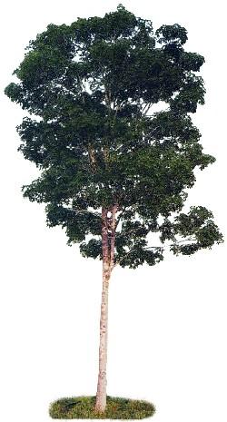 Seringueria (Hevea brasiliensis)