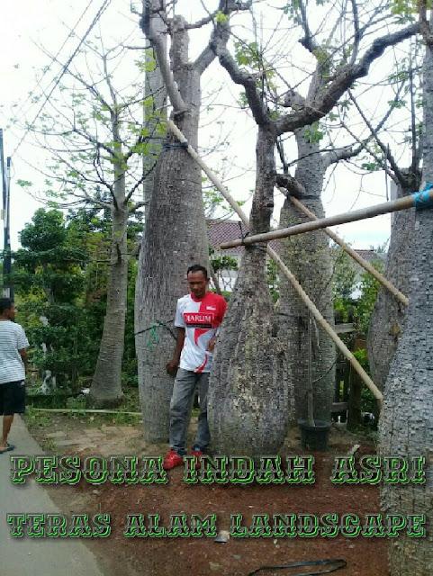 Tukang pohom bottle tree