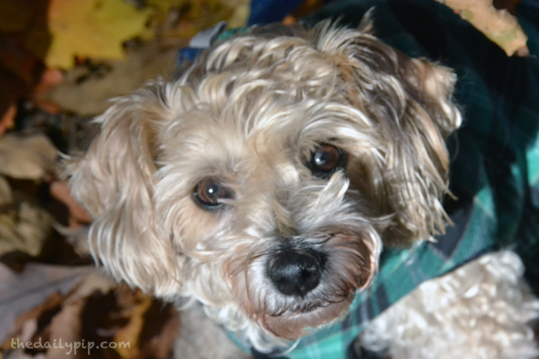 Ruby, the rescued Yorkie-Poo models her Gold Paw Series Double Fleece Pullover