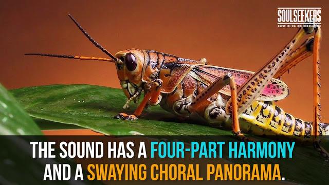 crickets, sounds of crickets, Jim Wilson's God's Chorus