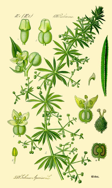 https://en.wikipedia.org/wiki/Galium_aparine