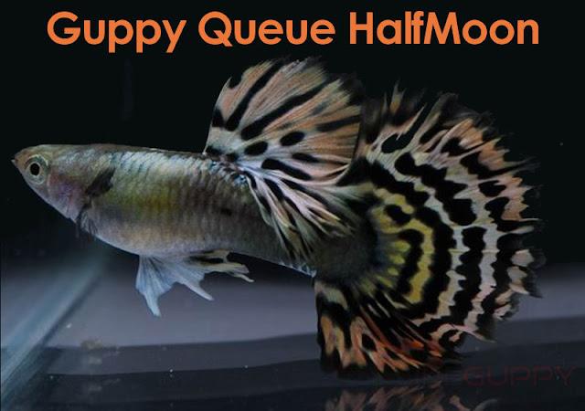 Guppy-Queue-HalfMoon-Nouveau-Standard-IHS-IKGH