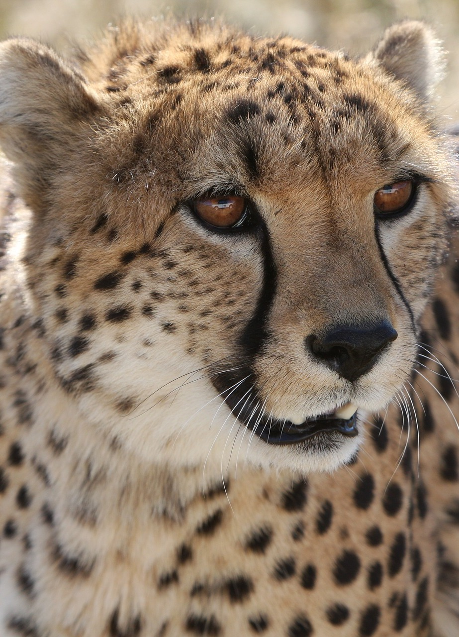 Picture of a cheetah up close.