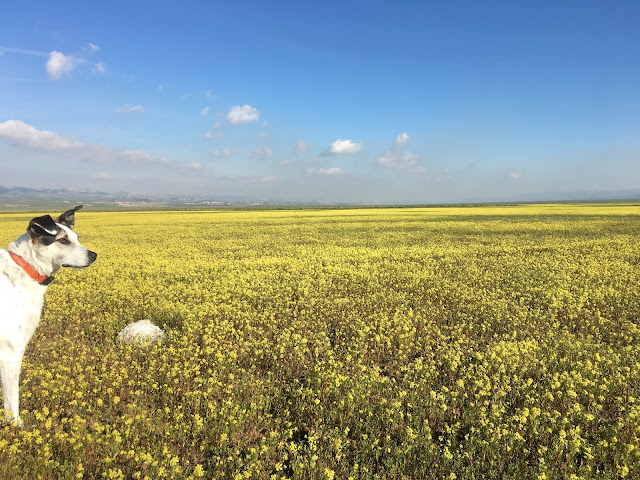Carrizo Plain National Monument Superbloom 2017 - South of Soda Lake - Best Dog Ever Buddy Wisely Chamberlin