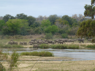 Elephants within the Kruger National Park
