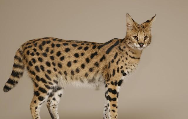 The Savannah cat salah satu kucing paling mahal di dunia