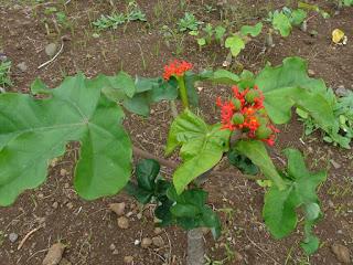 Arbre corail - Baobab nain - Fleur de Corail - Médicinier - Plante bouteille - Arbre bouteille - Ventre de Bouddha - Jatropha podagrica