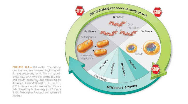 Cell cycle. The cell cycle's four step are illustrated beginning with G1 and proceeding to M.