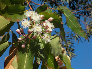 eucalyptus, matiére, feuille,vapeur, gargarisme, `peau, gorge