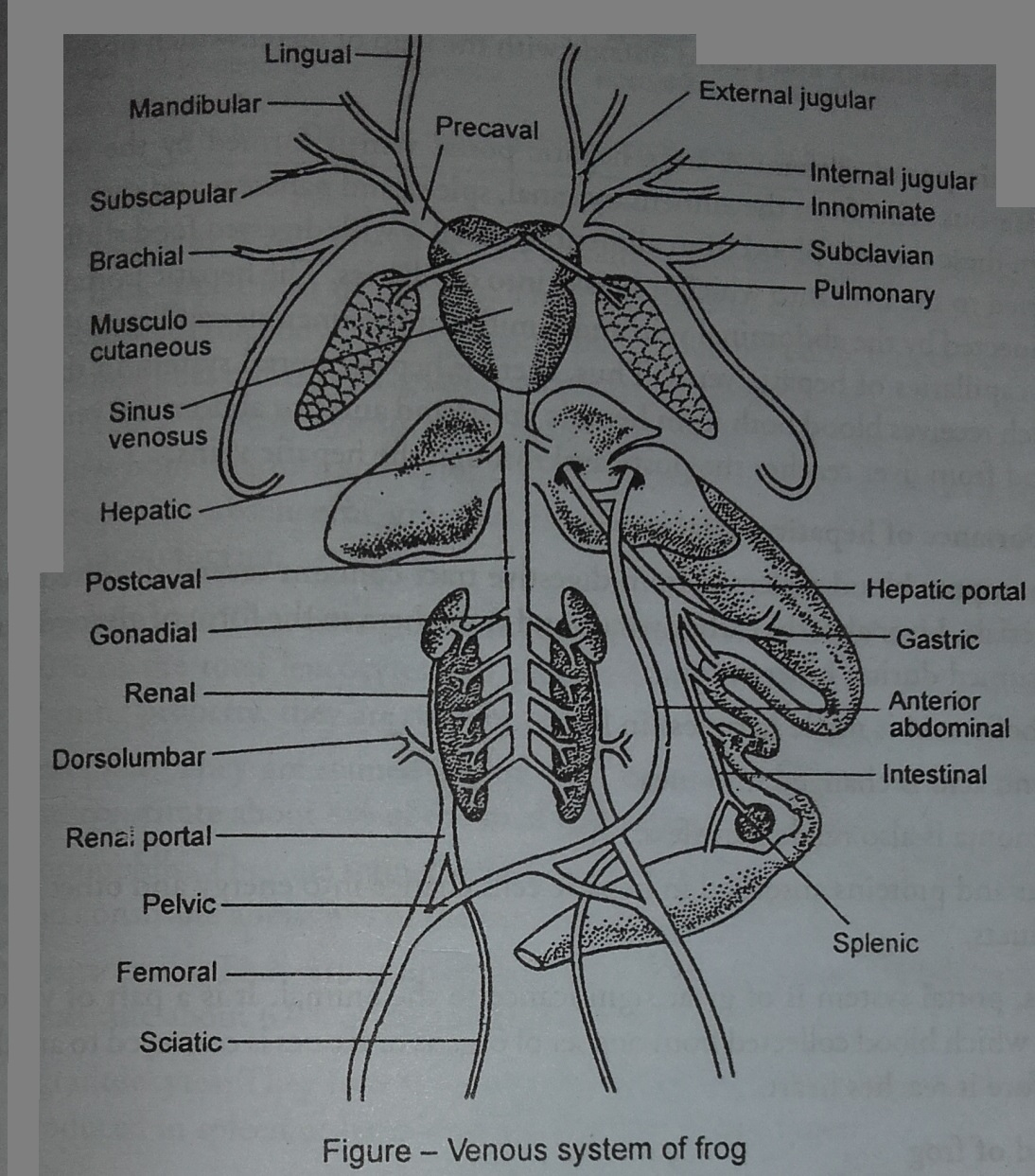 Zoology For Higher Secondary Level Frog Venous System