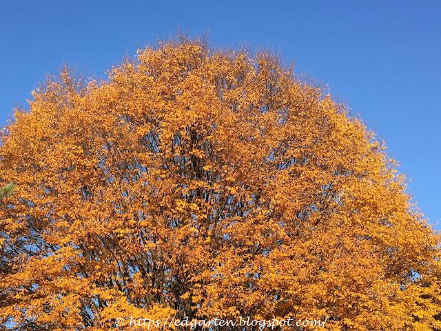 Baum im Herbst organge-gelb