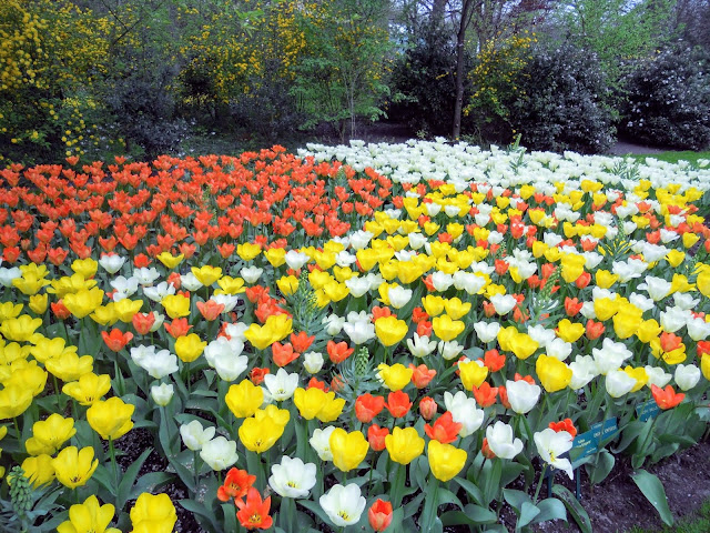 Discover the Netherlands: white, yellow and orange tulips at the Keukenhof