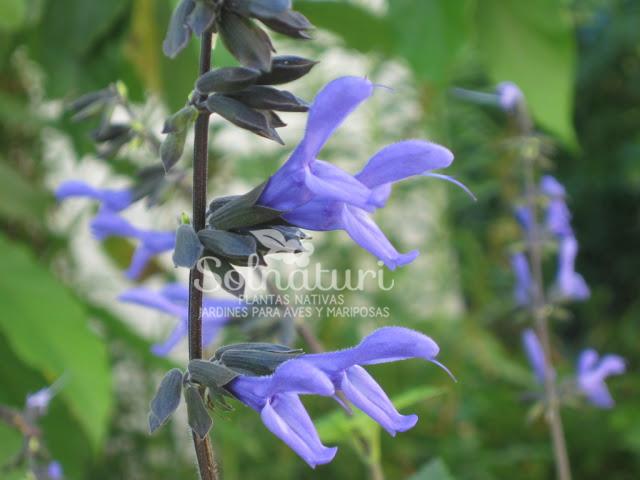 Salvia guaranitica  Salvia azul