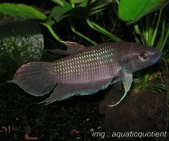 Jenis Ikan Cupang Spesies Betta Pugnax