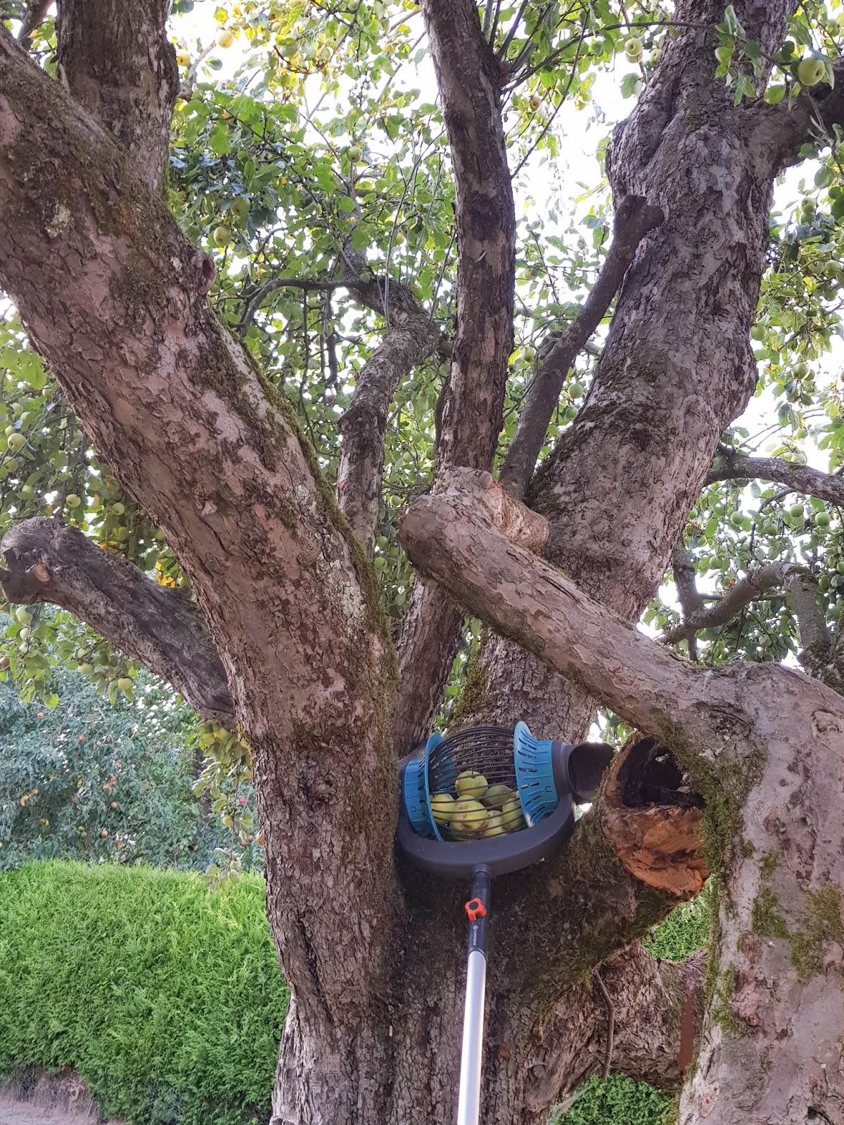 Tipp zum Äpfel sammeln. leicht gemacht mit dem Rollsammler Herbst, Rücken, Rückenschonend, Tipps, Ratgeber, pflücken2