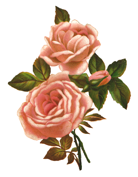 antique pink rose stock