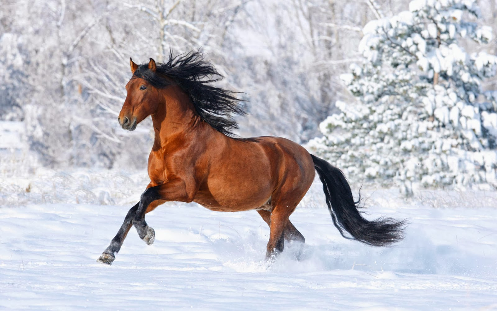 HD Wallpapers Desktop: Horses HD Wallpapers