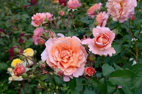 Alibaba роза сорт фото купить саженцы Минск