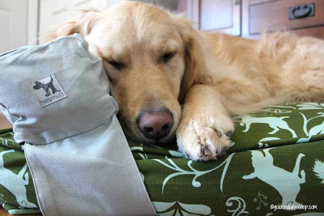 golden retriever dog sleeping on molly mutt dog bed and pillow