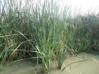 Brackish water, reed, chilika, Orissa
