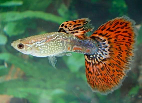 Gambar Ikan hias Guppy