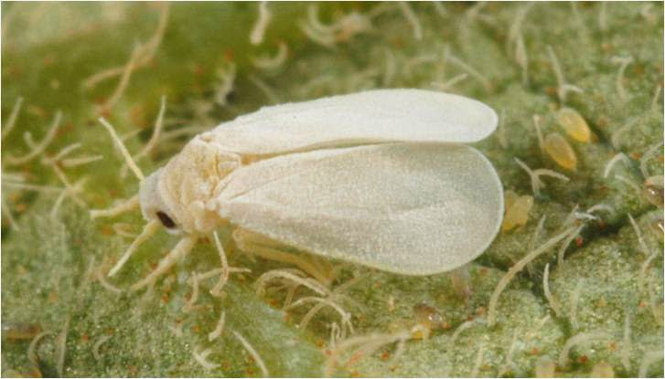 What Adult whitefly control question