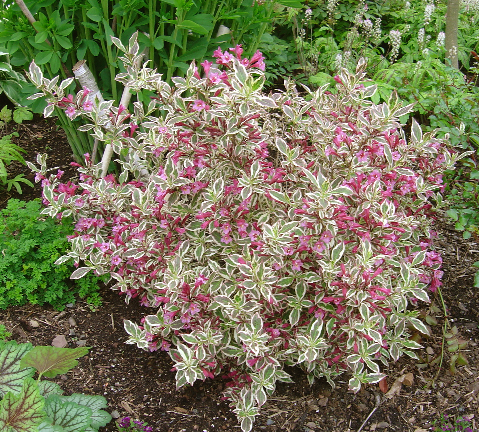 Plant Inventory At 20 Timothy Weigela