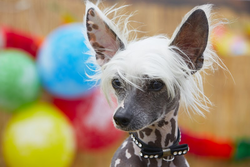 A pretty Chinese Crested Dog with balloons in the background