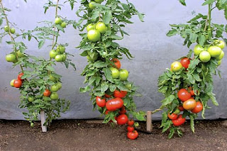 Step By Step On How To Plant Tomatoes With Pictures