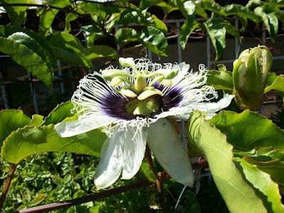 flor de Passfilora edulis