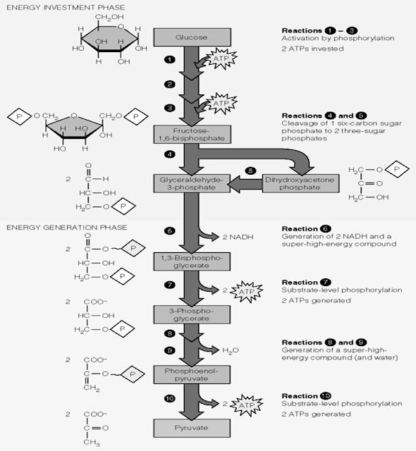 Proses glikolisis terdiri dari 10 tahapan