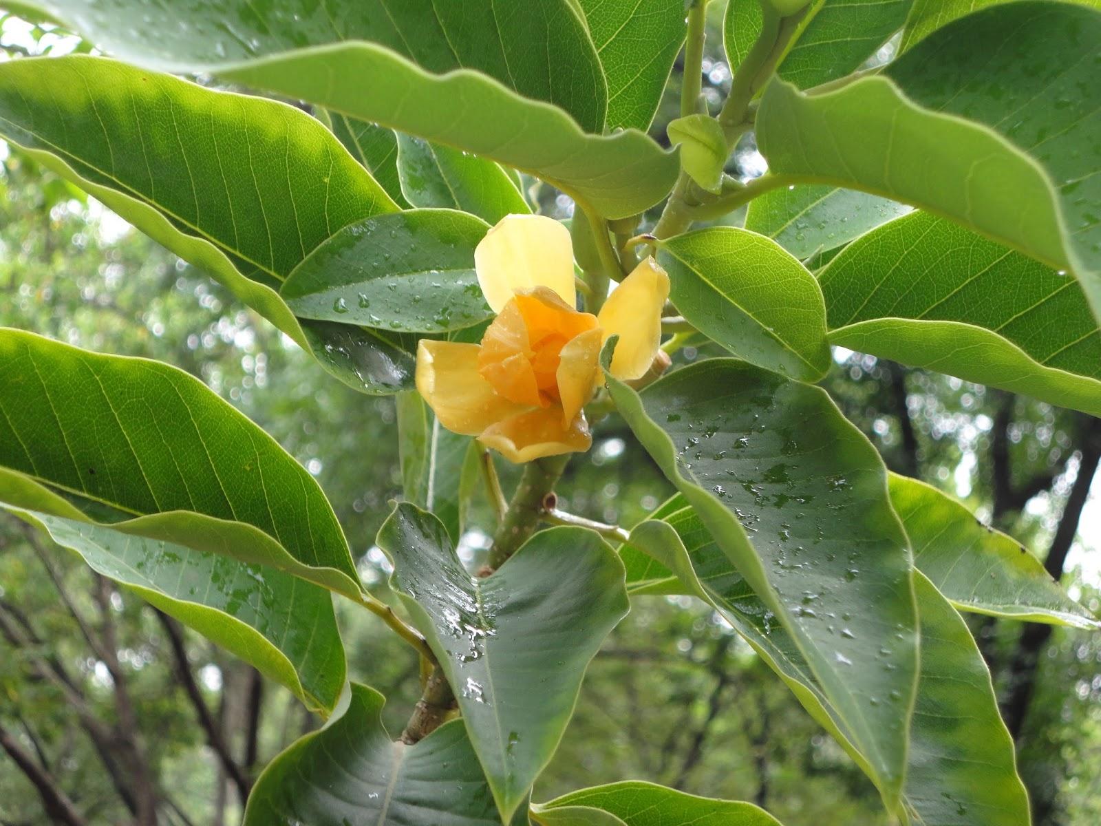 Champa Champaca Magnolia Champaca