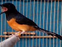 Alasan Kenapa Pelihara Burung Murai itu Menguntungkan