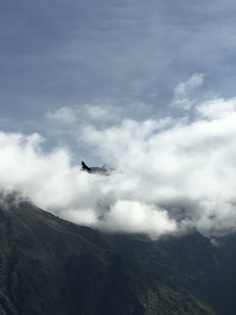 condor circling in the clouds over Colca Canyon, Peru