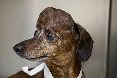 Trigeminal Nerve Sheath Tumor Dog Prognosis