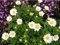 Manfaat tanaman Bunga Krisan [Chrysanthemum morifolium Ram]