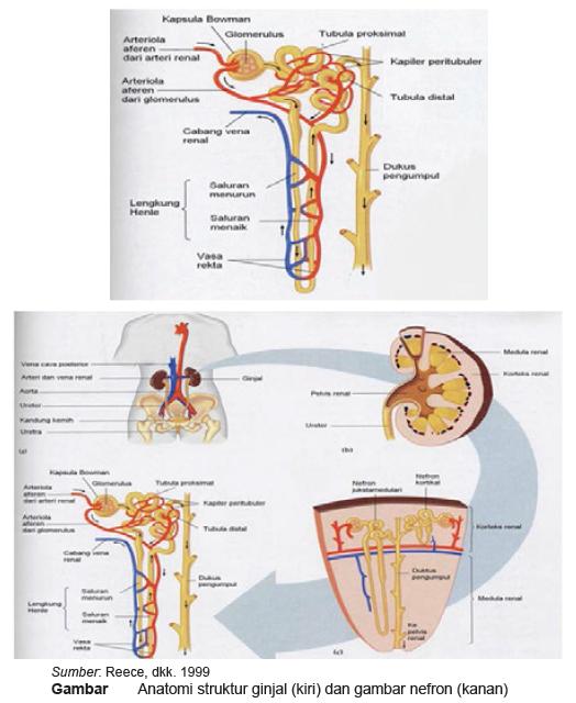 Struktur dan Fungsi Ginjal Dilengkapi Gambar Materi Kelas