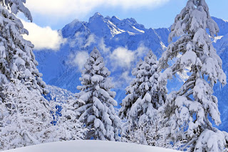 abetos-cubiertos-de-nieve
