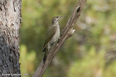 Picot verd (Picus viridis)