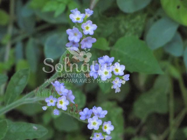 Heliotropium amplexicaule  Heliotropo