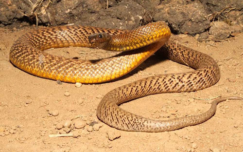 Cobra Taipan do interior