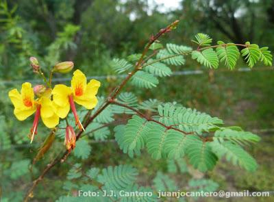 Pischalilla (Arquita mimosifolia)