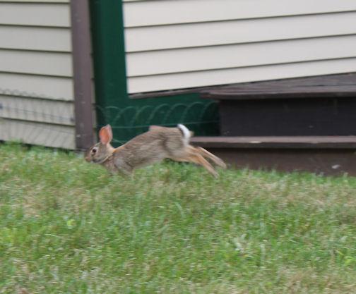 A Garden Rabbit