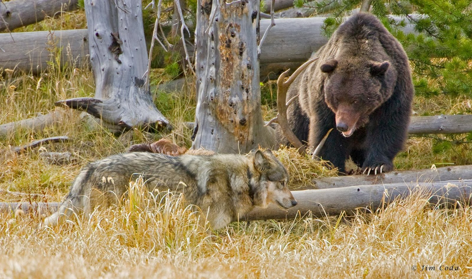 White Wolf The Backward Truth About Wolves And Grizzlies