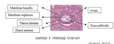 Histologi Ovarium