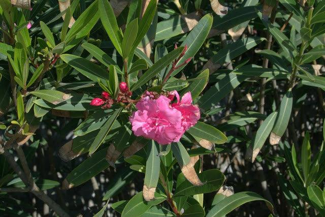 kwitnące oleandry Malaga i okolice