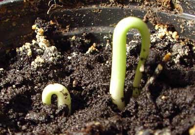 Как вырастить хурму из косточки дома ?